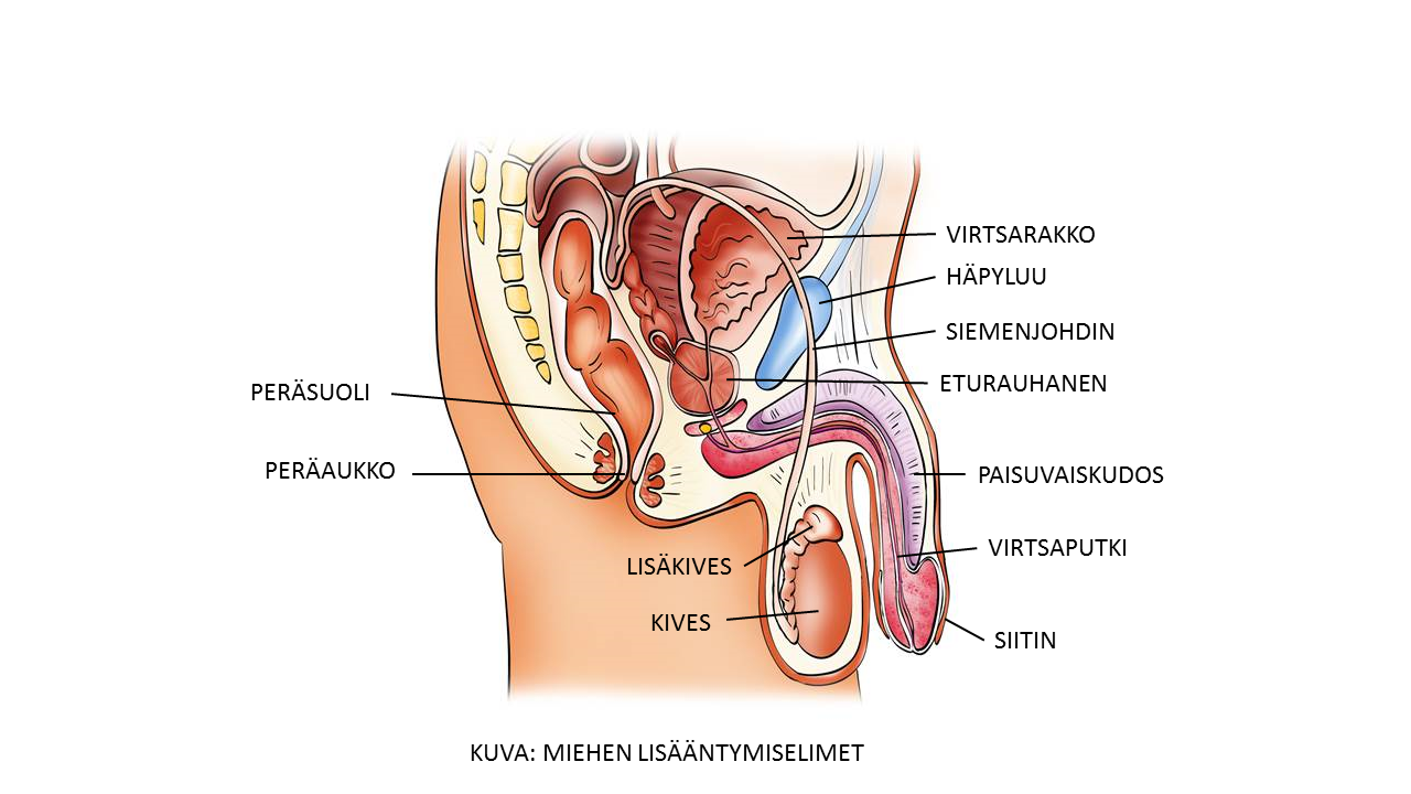 Anatomia ja fysiologia | Naistalo.fi | Terveyskylä.fi
