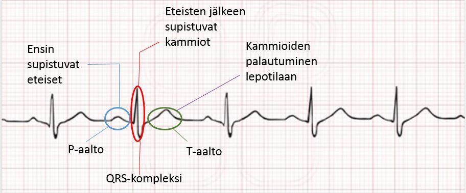 Sydämen rakenne ja toiminta  f96a21ac8c